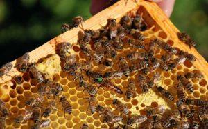 pszczoły miód pomorskie